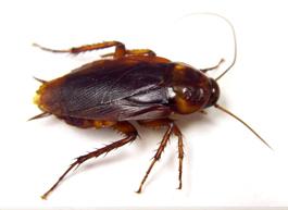 American Cockroach Exterminator Toronto