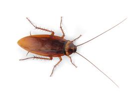 German Cockroach Exterminator Toronto
