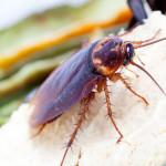 Cockroaches eat the orange peel